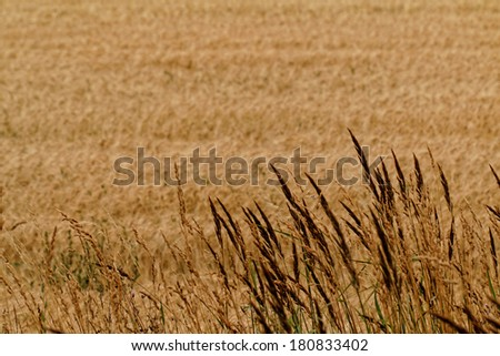 Golden wheat fields along the way - landscape - stock photo