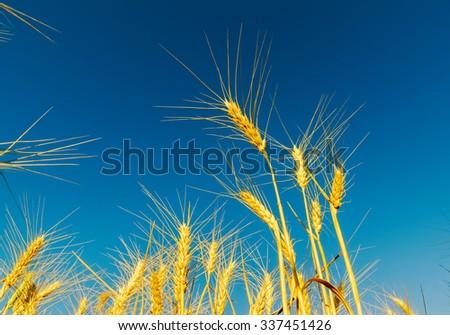 golden wheat of ear under deep blue sky - stock photo
