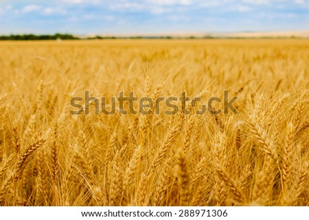 Golden wheat on a background of blue sky and bright sunshine - stock photo