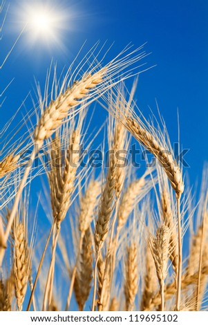 Golden wheat on blue sky background - stock photo