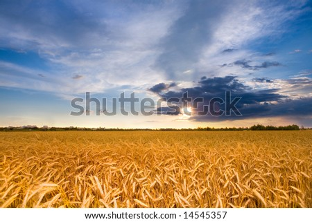 Golden wheat ready for harvest growing in a farm field under blue sky. With a brilliantly detailed foreground - stock photo