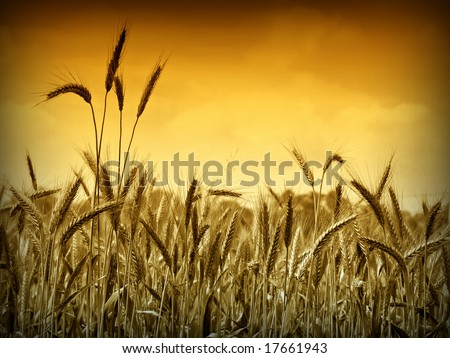 Golden wheat ready for harvest growing in a farm field under sky 7. Gold version 3 - stock photo