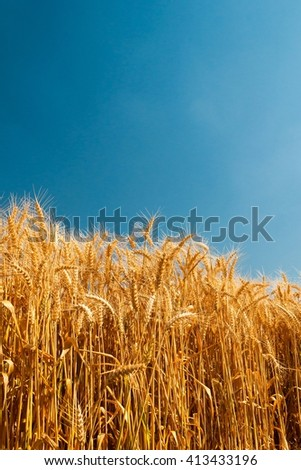 Golden wheat spikes under blue sky. Space in top side. Agricultural background. - stock photo