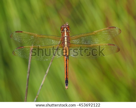 Golden-Winged Skimmer Dragonfly In Front of Out of Focus Pine Tree - stock photo