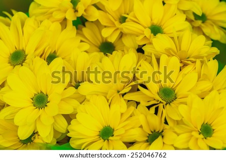 Golden yellow chrysanthemum floral background a close-up shot - stock photo