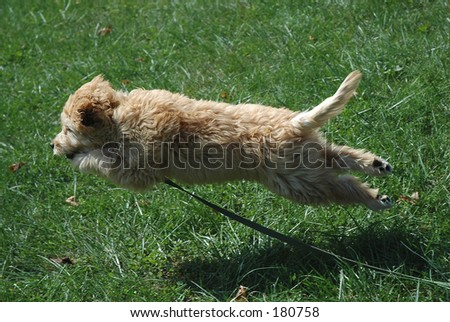 Goldendoodle (poodle -golden retriever cross)puppy flying through the air - stock photo