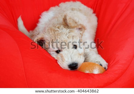 Goldendoodle puppy playing with ball - stock photo