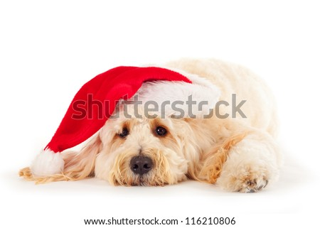 Goldendoodle with Christmas hat - stock photo