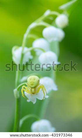 Goldenrod crab spider, Misumena vatia on lily of the valley, Convallaria majalis