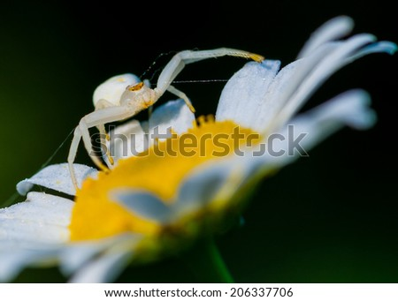 Goldenrod Crab Spider perched on a plant waiting for prey. - stock photo