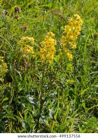 goldenrod plant on meadow