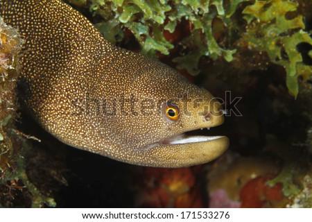 Goldentail Moray (Gymnothorax milliaris) - Bonaire - stock photo