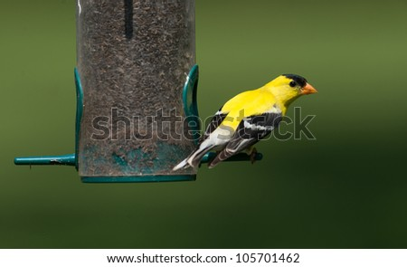Goldfinch at a thistle feeder - stock photo