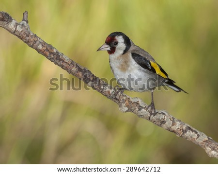 Goldfinch,( Carduelis carduelis), perched on his perch