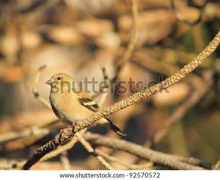 Goldfinch in winter plumage - stock photo