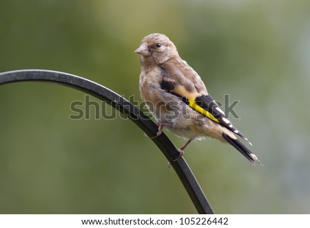 Goldfinch,Juvenile,Carduelis carduelis - stock photo