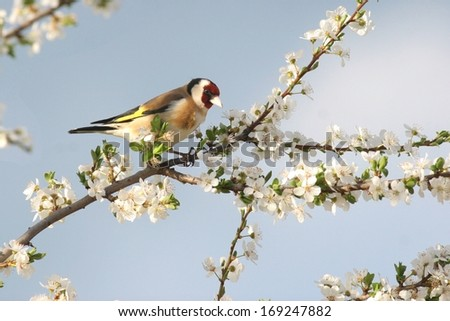 Goldfinch perched in white blooming tree - stock photo