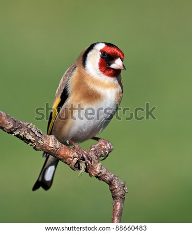Goldfinch perched on a stick - stock photo