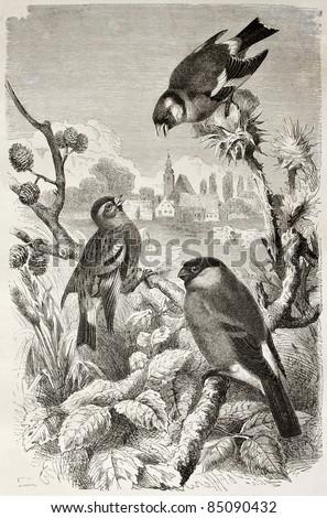 Goldfinch, Siskin and Bullfinch old illustration. Created by Kretschmer and Jahrmargt, published on Merveilles de la Nature, Bailliere et fils, Paris, 1878 - stock photo