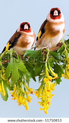 Goldfinch sitting on a branch of blossom tree in spring - stock photo