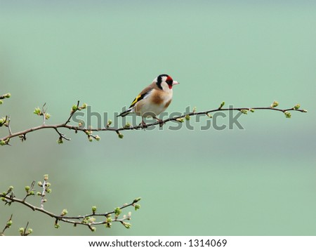 Goldfinch sitting on the branch of a hawthorn tree in spring, against a pastel turquoise background. - stock photo
