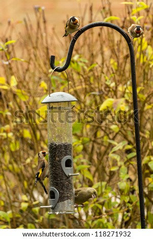Goldfinches on a bird feeder - stock photo