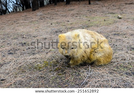 Goldfinger wombat. This wombat has been burrowing in yellow sandstone soil, giving him an unusual golden appearance. Maria Island National Park, Tasmania, Australia - stock photo