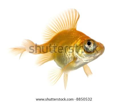 Goldfish - Carassius auratus auratus in front of a white background - stock photo