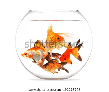 Goldfish floating in glass sphere and on a white background - stock photo