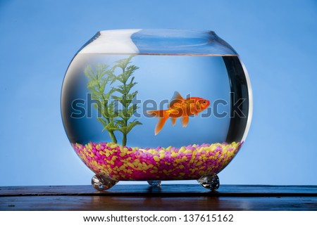 Goldfish in a beautiful round goldfish bowl with colored stones and a plant. - stock photo