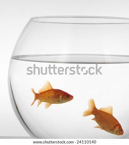 goldfish in aquarium - stock photo