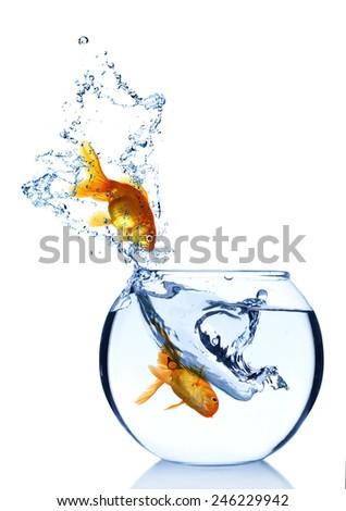 Goldfish in aquarium isolated on white - stock photo