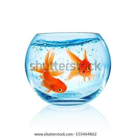 Goldfish in aquarium isolated on white background. - stock photo