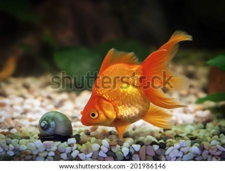 Goldfish in aquarium with green plants, and stones - stock photo