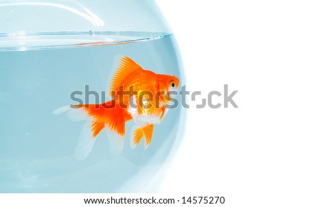Goldfish in the bowl - stock photo