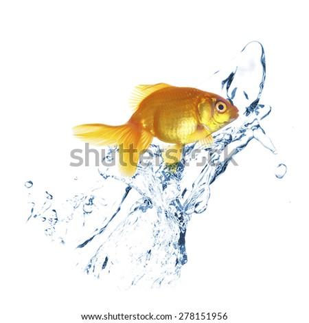 Goldfish in water splashes, isolated on white - stock photo