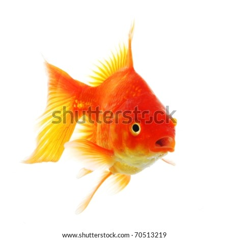 goldfish isolated on white showing success or job search concept - stock photo