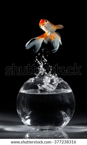 Goldfish jumps upwards from an aquarium on a dark background - stock photo