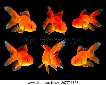 goldfish on black background - stock photo