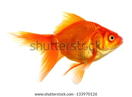 goldfish or fish isolated on white background - stock photo