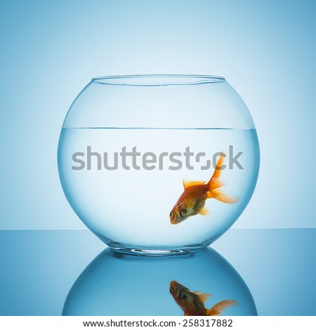 goldfish swims in a fishbowl glass - stock photo