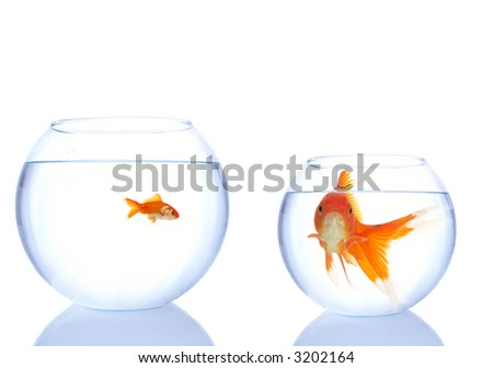 goldfishes in the bowls, small has more space, big one is not happy about it - stock photo