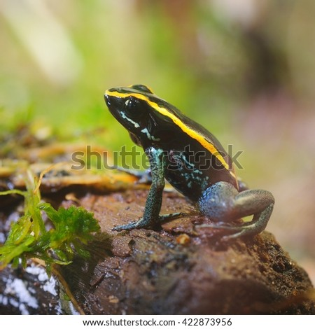 Tropical rainforest poison dart frog