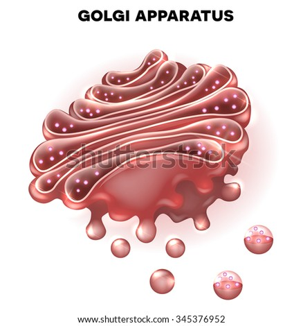 Golgi apparatus a part of the cell - stock photo