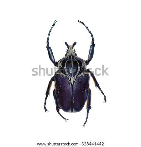 Goliath beetle (Goliathus goliathus) isolated against white background - stock photo