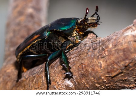 Goliath beetle (mecynorhina torquata ugadensis) - stock photo
