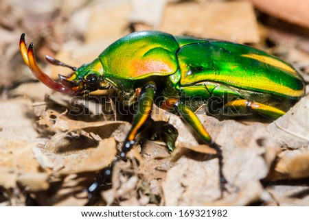 Goliath flower beetle crawling on the ground - stock photo