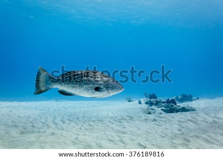 Goliath Grouper Epinephelus itajara floats above white sand in Caribbean sea