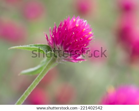 Gomphrena globosa in the summer flower bed