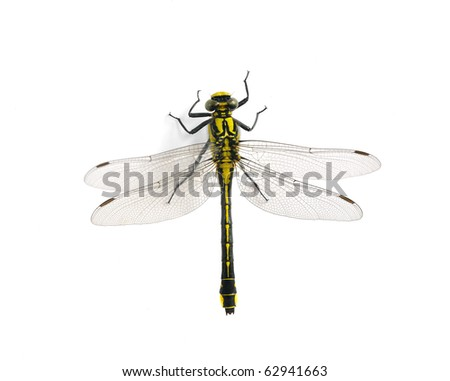 Gomphus vulgatissimus (female) - stock photo